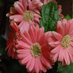 Gerbera Daisy Care Indoor | mediumgarden.com
