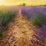 Lavender Oil: The Complete Profile
